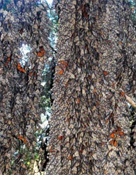 Monarch wintering