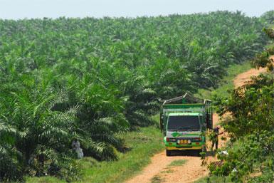 Palm Oil Guatemala