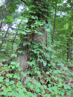 Poison Ivy Climbing Tree