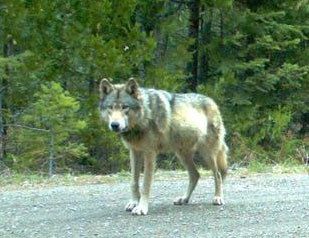 Finally, Some Good News for Wolves