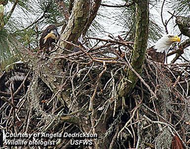 Bald Eagles Nesting in New York City!
