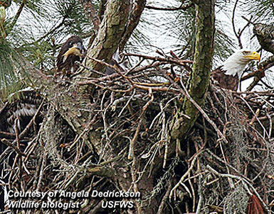 Bald Eagles Nesting in New York City!