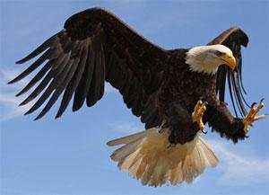 golden-eagle.jpg