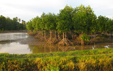 Mangroves Indonesia